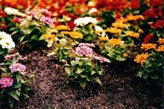 ettårig växt blommar konungparken Arkivbilder