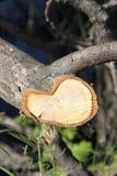 ettårig växt ringer treen Royaltyfria Foton