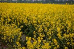 Ett ändlöst fält av våldtar Blomma orange blommor royaltyfria bilder