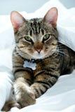 Ett årigt randigt, strimmig kattkatt som stirrar på kameran arkivbild