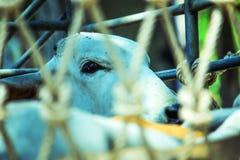 Ett öga för ko` s i en dumper Arkivfoto