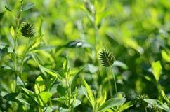 ett agrestal grönt gräs i morgonstrålar av solen Arkivbild