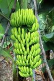 Ett bananträd med bananer arkivfoton