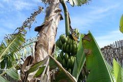 Ett bananträd som underifrån beskådas Royaltyfri Bild
