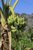 Ett bananträd växer i bygden nära Hanoi (Vietnam) royaltyfria foton