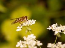 Ett bandfel som ses från ögonen för sidoslutet, förkroppsligar upp, och vingar äter Royaltyfria Foton