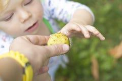 Ett barn trycker på en taggig kastanj och grimaser Arkivbild