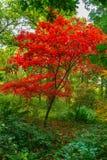 Ett bedöva ungt träd för japansk lönn i karmosinröda höstfärger arkivfoton
