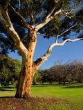 Ett behagfullt gammalt australiskt eucalytträd Arkivbild