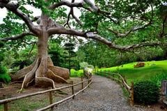 Ett behagfullt träd grundar i en japansk trädgård Royaltyfria Bilder