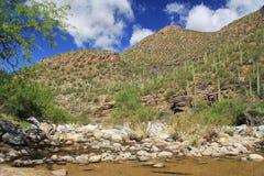 Ett berg av saguaroen i björnkanjon i Tucson, AZ Royaltyfri Bild