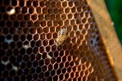 Ett bi arbetar på honungskakan Arkivbild