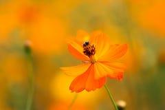 Ett bi bland blommorna Fotografering för Bildbyråer