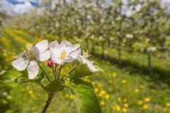 Ett bi flyger nära blommor fotografering för bildbyråer