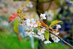 Ett bi flyger nära blommor Blommande liten filial av äppleträdet Arkivbild