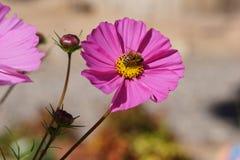 Ett bi i blom fotografering för bildbyråer