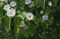 Ett bi i ett blomstra äppleträd arkivfoton