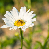 Ett bi i den vita blomman Royaltyfria Foton