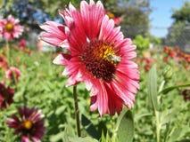 Ett bi i en blomma royaltyfria bilder