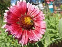 Ett bi i en blomma royaltyfri bild