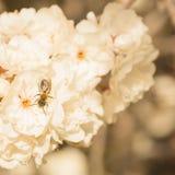 Ett bi i en blomning Fotografering för Bildbyråer