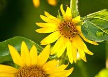 Ett bi i en härlig organisk solros Arkivbild