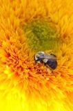 Ett bi i en solros Arkivfoton