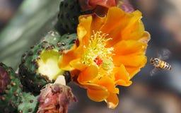 Ett bi i flykten till en orange kaktusblomma för taggigt päron Royaltyfri Bild