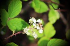 ett bi i fokus på en blomma Royaltyfria Foton