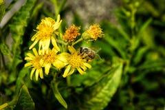 Ett bi i natur Royaltyfria Foton