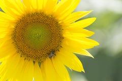 Ett bi matar på blomman arkivfoto