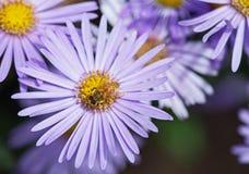Ett bi och en aster Royaltyfria Bilder