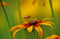 Ett bi och en blomma på guld- bakgrund Arkivfoto