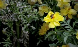 Ett bi och gulingblommor Fotografering för Bildbyråer