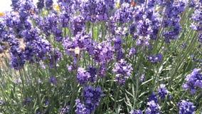 Ett bi och lavendlar Royaltyfri Fotografi