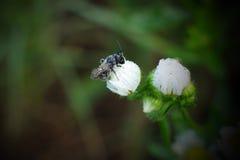 Ett bi på blomman Arkivfoto