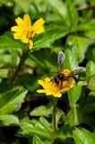 Ett bi på blomman Arkivbild