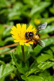 Ett bi på blomman Arkivfoton