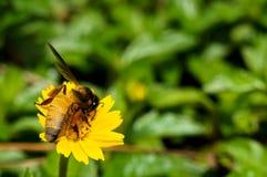 Ett bi på blomman Royaltyfria Foton