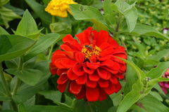 Ett bi på den röda blomman på Doi Tung, Chiang Rai Arkivfoto