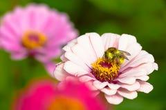 Ett bi på en blomma Royaltyfria Bilder