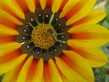 Ett bi på en blomma Royaltyfria Foton