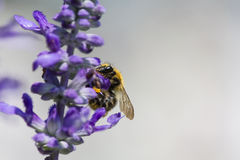 Ett bi på en blomma i sommaren Fotografering för Bildbyråer