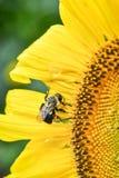 Ett bi på en blommande solros, jaspis, Georgia, USA royaltyfri foto