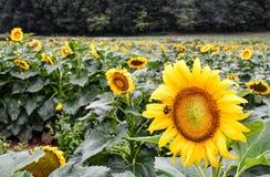 Ett bi på en blommande solros, jaspis, Georgia, USA fotografering för bildbyråer