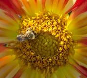 Ett bi på en dahlia Fotografering för Bildbyråer