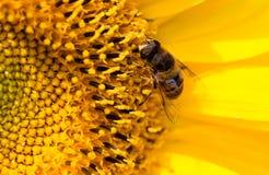 Ett bi på en gul solros i natur Arkivfoton