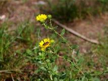 Ett bi på en höstlig blomma, guling blommar royaltyfri bild