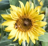 Ett bi på en solros på Anderson Sunflower Farm arkivbild