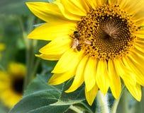 Ett bi på en solros på Anderson Sunflower Farm royaltyfri bild